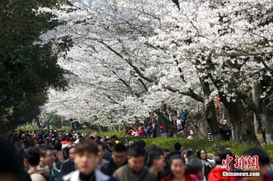 持续阴雨寡照天气致武汉今年樱花初绽日推迟