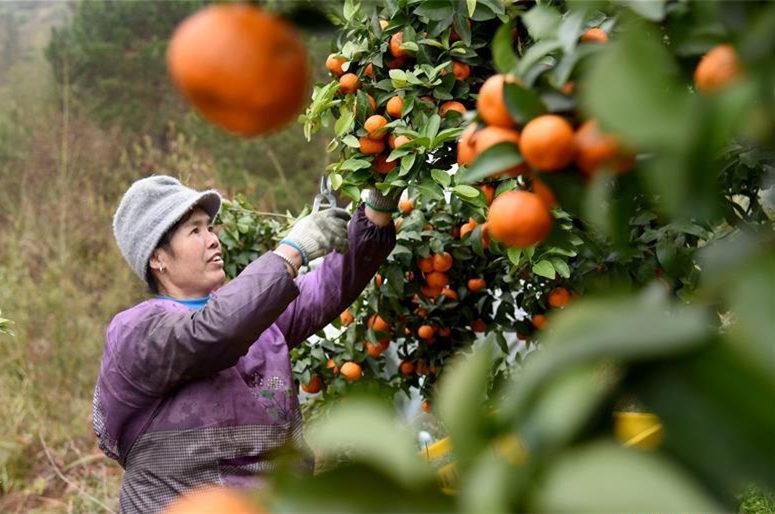贵州榕江:砂糖橘丰收上市
