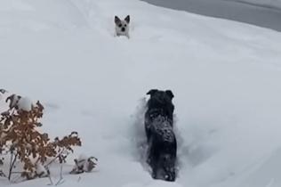 美一小狗深陷积雪中 大个子伙伴仗义开路救援