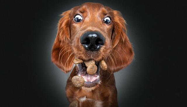 摄影师拍狗狗接食表情包 龇牙咧嘴令人捧腹