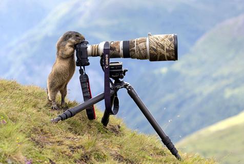 """奥地利土拨鼠""""客串""""摄影师 拿相机有模有样"""