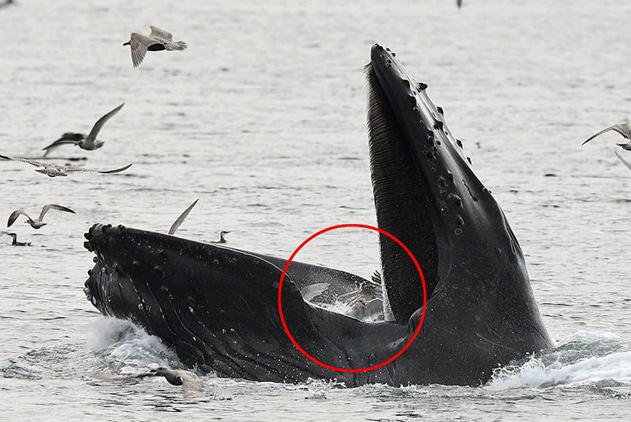 座头鲸跃出水面捕鱼误食海鸥 赶紧张嘴释放
