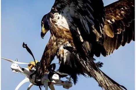 确认:老鹰真的捕获了无人机