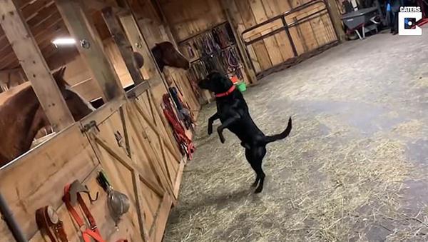 拉布拉多犬马厩里首次看到马儿好奇站立张望