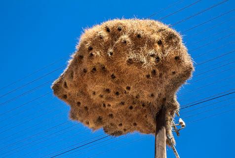 生命的壮举!南非荒漠巨型鸟巢震撼人心