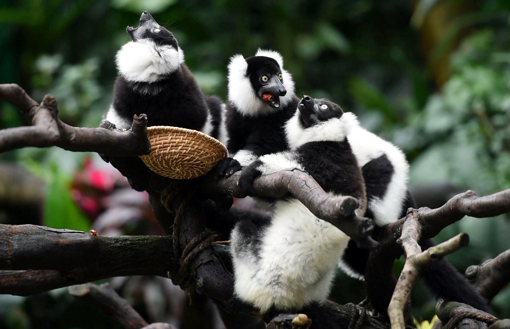 广州:斑狐猴三胞胎正式与游客见面