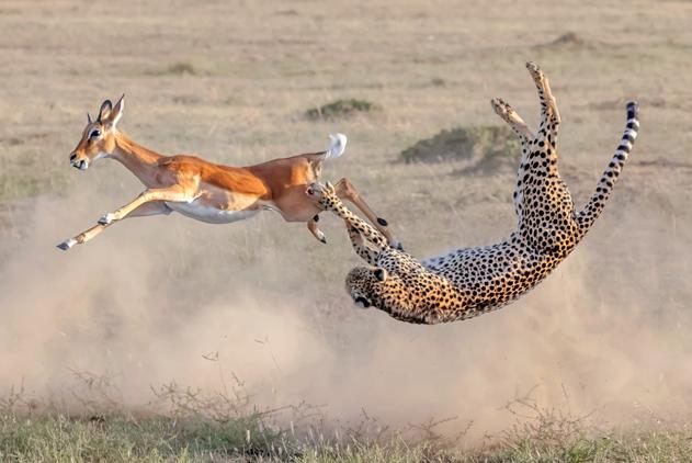 非洲猎豹捕食羚羊  追击中表演精彩后空翻
