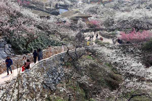 韩国最大梅花庆典将至 梅开漫山白如雪