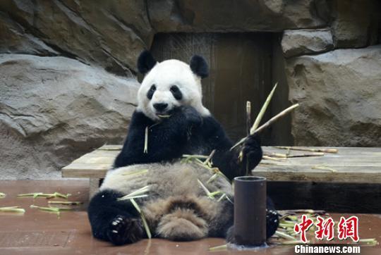 """成都动物园:大熊猫""""娅娅""""将告别游客 不再对外展出"""