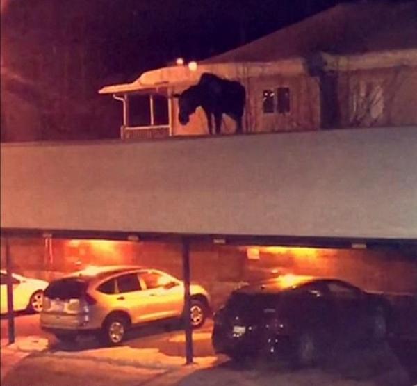 加拿大一车棚顶惊现呆萌驼鹿辗转徘徊