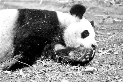 成都动物园大熊猫娅娅已29岁高龄 被接回基地养老
