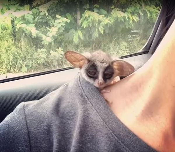 困死了!泰国小丛猴在女子脖颈上打盹可爱至极