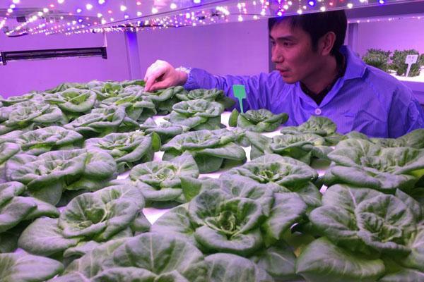 探访植物工厂:没有阳光植物如何生长?
