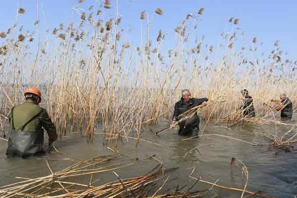 太湖芦苇收割忙