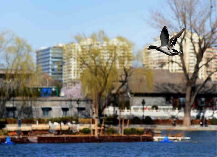 北京什刹海:推进水环境修复