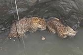 印度两只花豹打架双双掉入水井