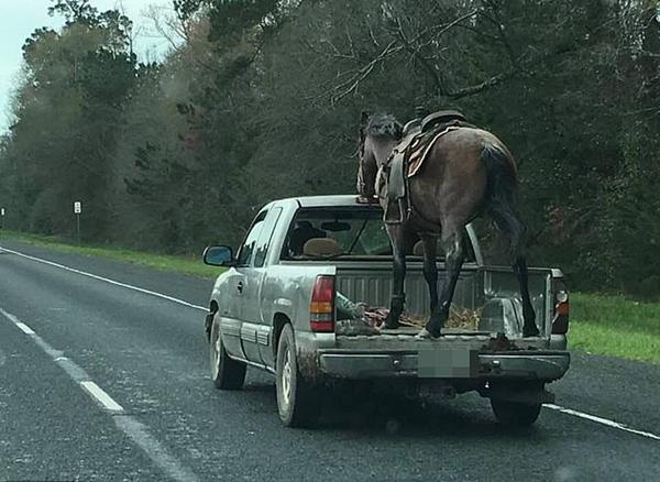 惊险!美司机开皮卡车载着马在高速公路上疾驰