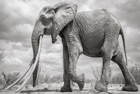 """肯尼亚罕见""""大獠牙""""大象去世 每根牙重90斤"""