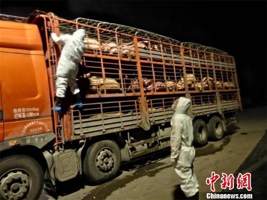 四川邻水拦获载有非洲猪瘟疫病生猪车辆 已控制处理