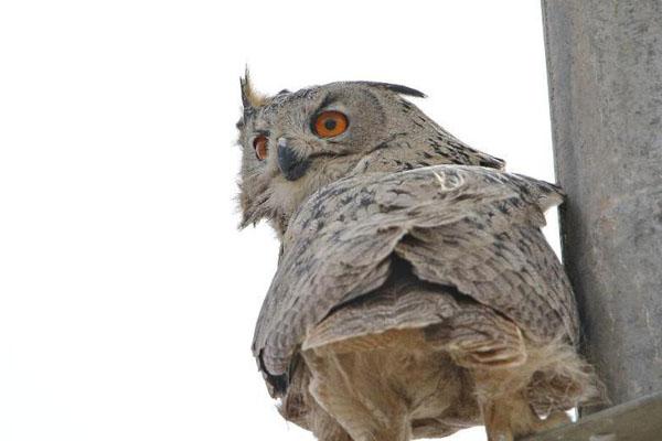 甘肃敦煌放飞雕鸮 野生动物得村民救护回归自然