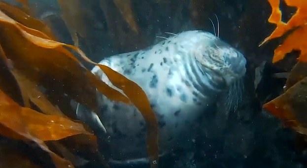 英海域一海豹筋疲力尽 扛不住困意沉入水底睡着
