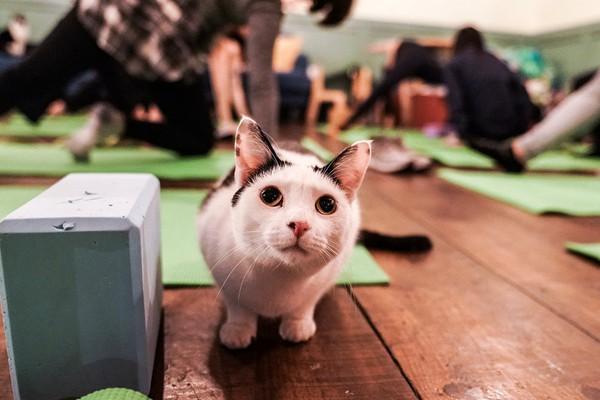 """纽约一家猫咖开办瑜伽课 猫咪成学员特殊""""陪练"""""""