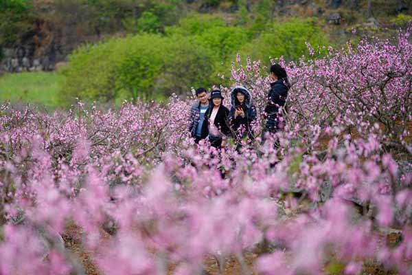 贵州兴义万亩桃花盛开争艳 绚烂花海醉游人