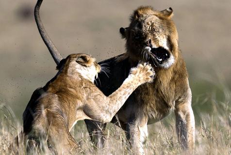 """怕老婆!非洲雄狮求爱不成反遭雌狮""""痛揍"""""""
