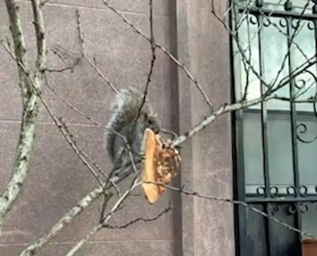 纽约松鼠饥肠辘辘 抓着披萨在树木间危险跳跃