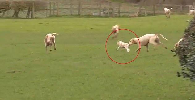 英猎犬捕猎时闯入农场咬伤羊羔 猎人在场未阻止