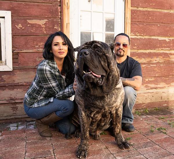 美国2岁獒犬体重96公斤 身形庞大胜过成人