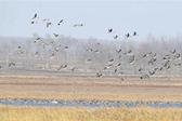 候鸟飞临卧龙湖湿地