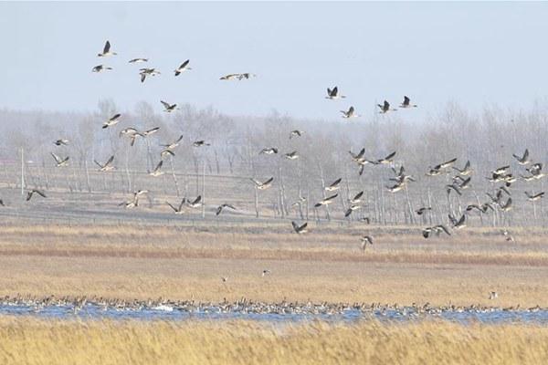 辽宁康平:候鸟飞临卧龙湖湿地