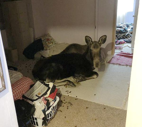 美国小镇一住户家夜传巨响 竟是麋鹿破窗而入