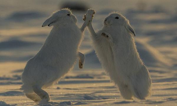 """好萌!两只北极野兔雪地争食打斗似""""击掌"""""""