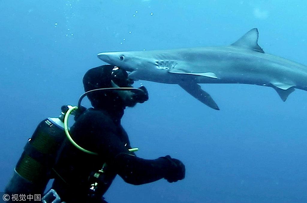 胆大包天!潜水员接受蓝鲨亲吻 摄影师定格惊魂瞬间