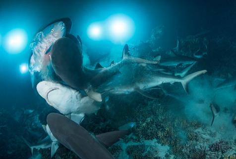 数百头鲨鱼扎推捕食石斑鱼群 吃到爽翻天
