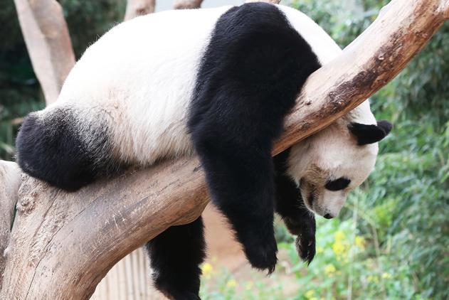 你萌你说了算!旅韩大熊猫挂树上打盹洋相百出