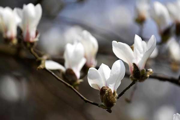气温回升,玉兰花迎春绽放 生机盎然