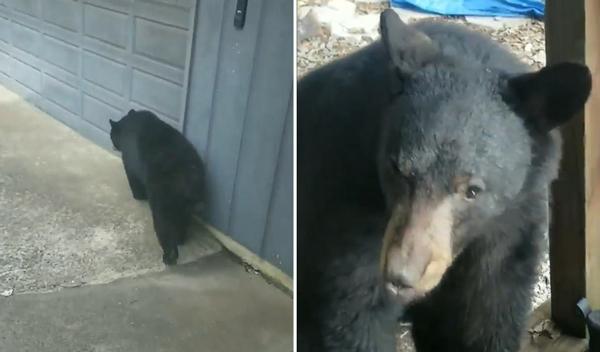 美国两黑熊逼近民宅 房主无奈不敢出门
