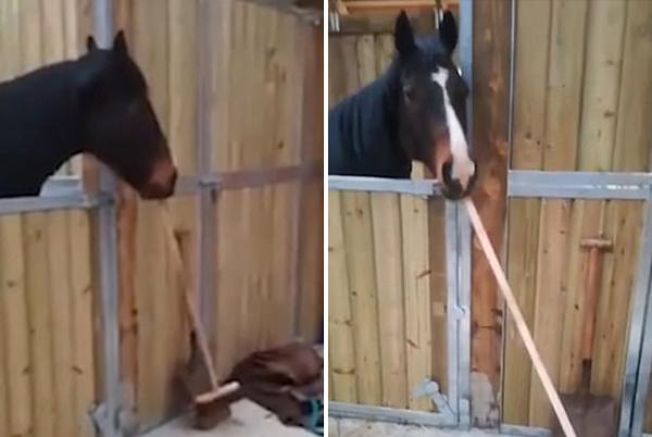 独特技能!苏格兰一匹马嘴含扫把打扫马厩
