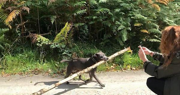 呆萌!英国小狗嘴叼大段树干从树林窜出