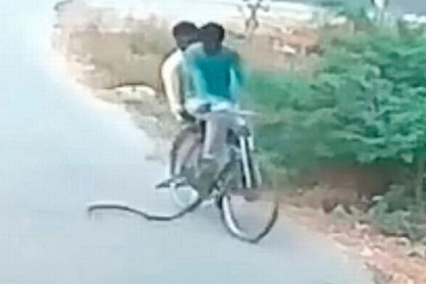 印度两男子骑自行车路遇眼镜蛇袭击 ?#21482;?#36867;命