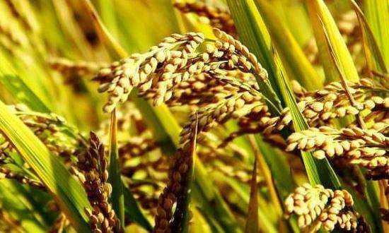 四川:今年确保粮食播种面积9000万亩以上