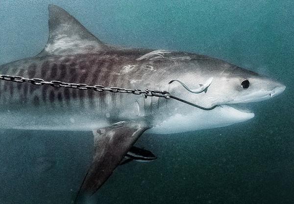 澳环保组织呼吁拆除大堡礁上百条捕鲨鼓线
