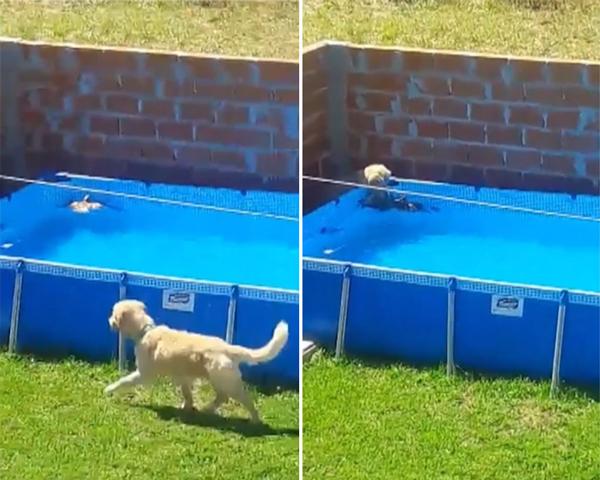 阿根廷英雄金毛犬成功拯救落水小鸟