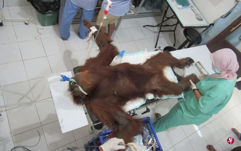 大难不死 印尼猩猩身中74粒铅弹仍存活