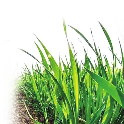 河南省小麦返青期苗情普遍较好 优质专用小麦种植面积稳步扩大