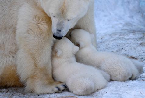 俄北极熊宝宝挤妈妈怀里喝奶 画面温馨暖人