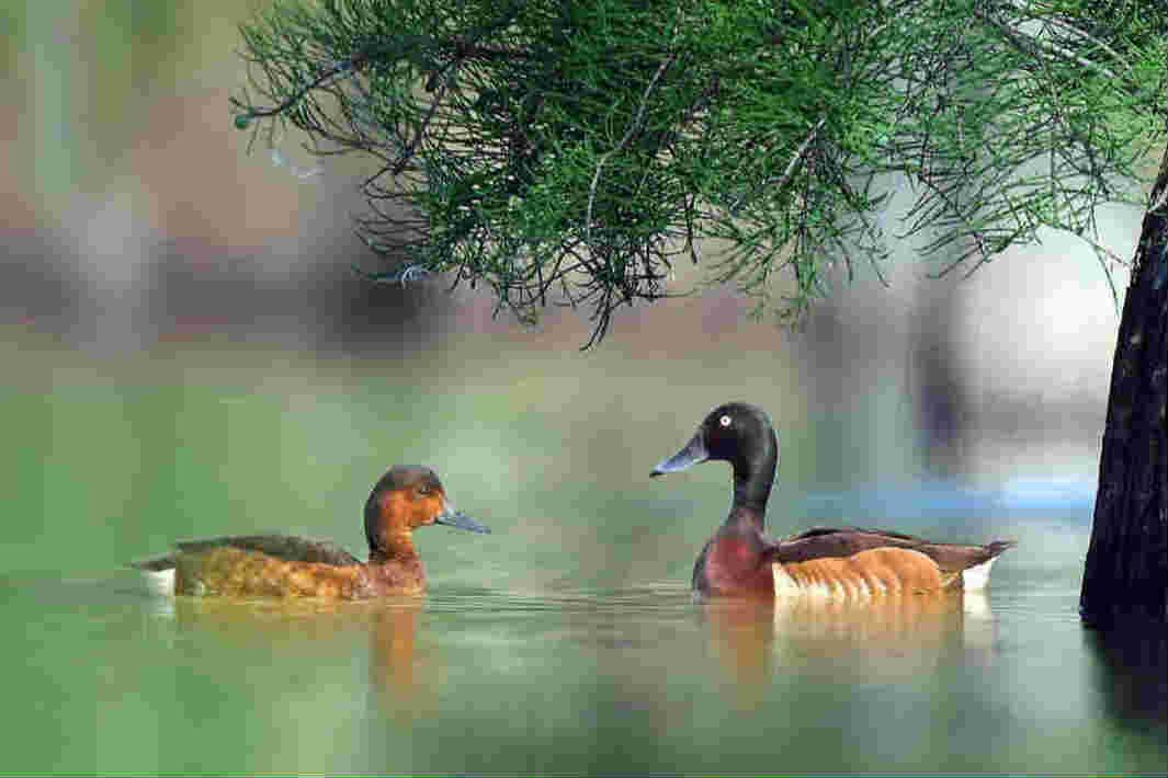 内蒙古发现全球极濒危物种青头潜鸭